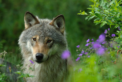 KUKNO-11-Wolf-001