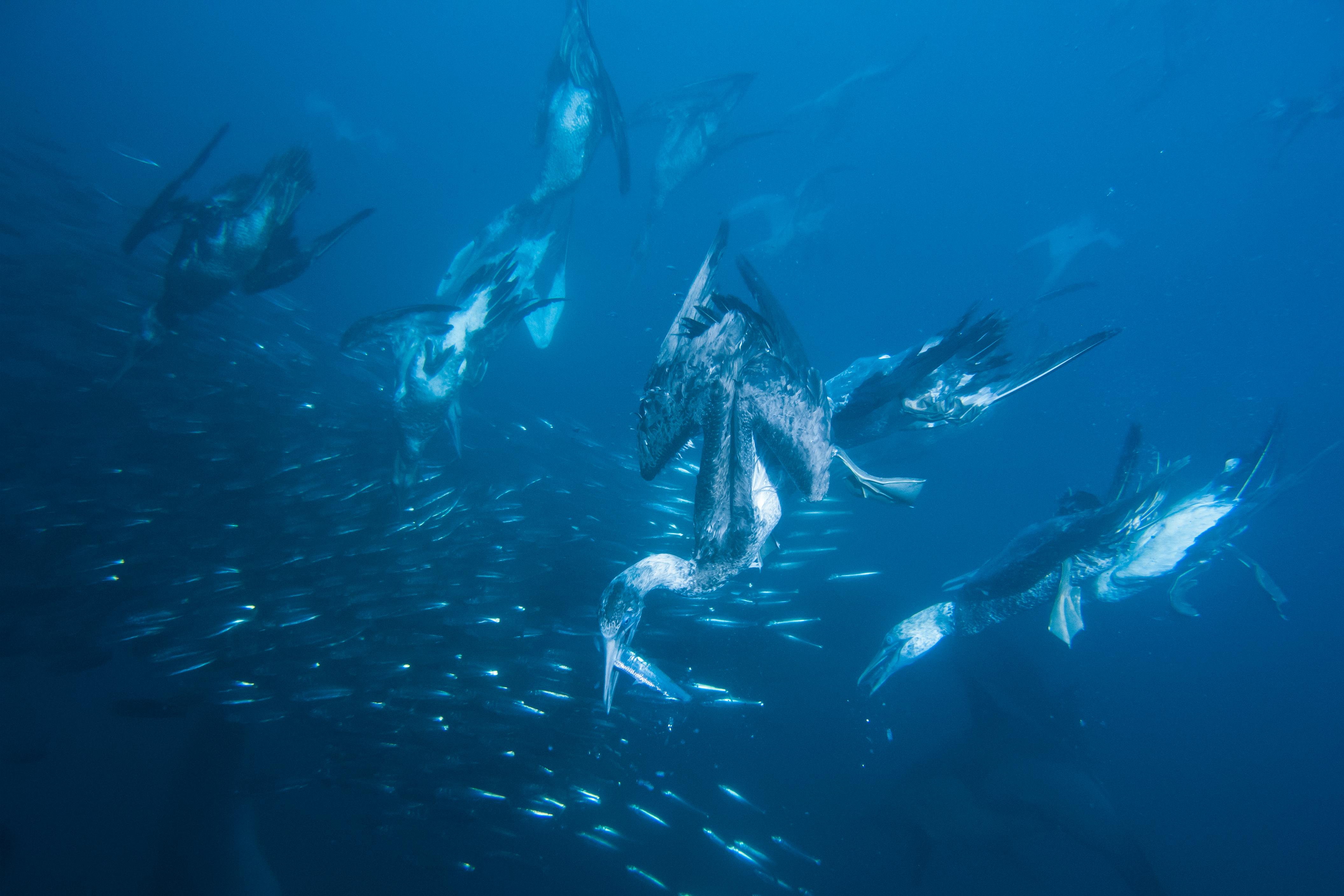 sardine-run-kaptoelpel-schnappt-sardine.