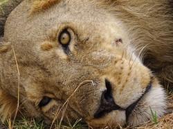 Botswana,_Auch_die_Löwen_ruhen_sich_wä