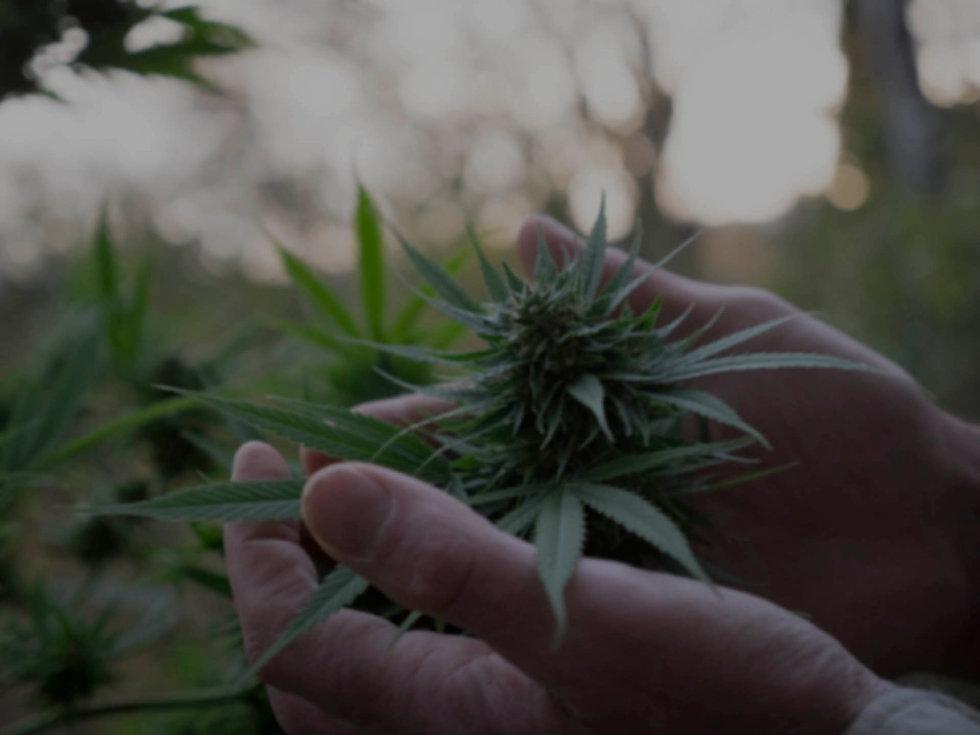 Cannabis Pflanze Texthintergrund.jpg