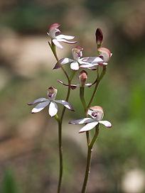 Musky Caladenia, Caladenia gracilis.jpg