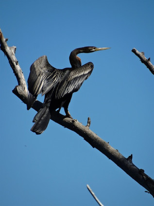 Darter, Spring Creek Reservoir October 2