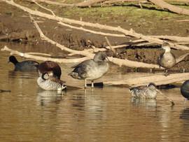 Freckled & other ducks, Spring Creek Res