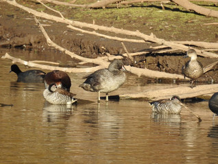 Freckled & other ducks, Spring Creek Res