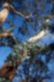Eucalypt canobolensis Regeneration 1.jpg
