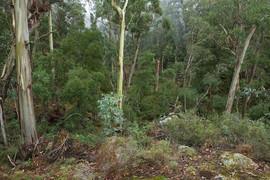 Mountain Gums (Eucalyptus dalrympleana),