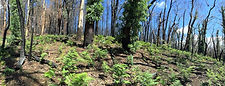 Regeneration north of Mt Canobolas Road