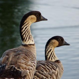 Geese, Hawaiian, pair 1, Princeville (10