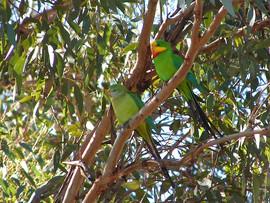 Superb Parrots, Manildra August 2006.jpg
