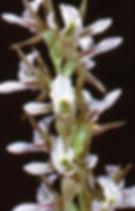 Prasophyllum sp. endemic to the Canobola