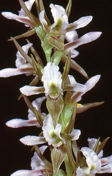 Prasophyllum sp. endemic to the Canobola
