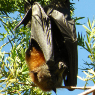 Flying fox, grey-headed, Cook Park 3 (10