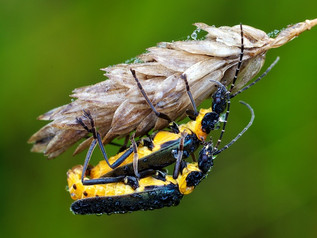 Soldier Beetles Mating, Gosling Creek Ma
