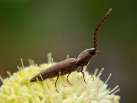 Beetle on Pimela ligustrina, Mt Canobola