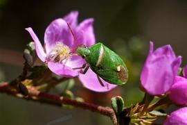 Green Bug on Boronia microphylla, Mullio