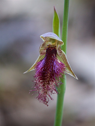 Bearded Orchid (Calochilus robertsonii),