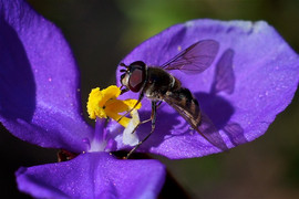 Hoverfly on Patersonia flower, Mullion R