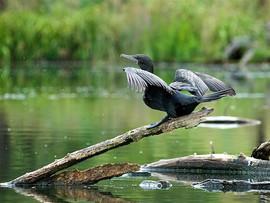 Little Black Cormorant, Lake Canobolas D