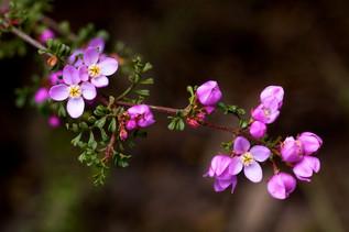 Boronia microphylla, Mullion Range Novem