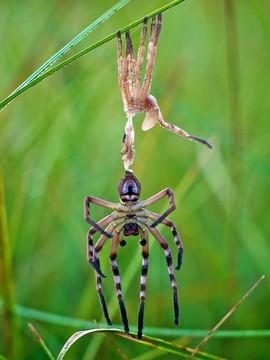 Huntsman Spider Moulting, Gosling Creek