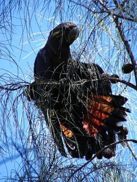 Glossy Black Cockatoo, Conimbla NP April