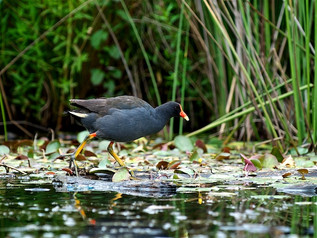 Dusky Moorhen, Lake Canobolas December 2