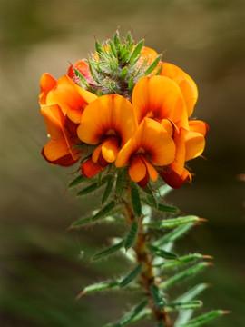 Pultenea setulosa, Mt Canobolas November