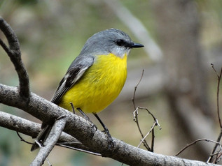 Eastern Yellow Robin, Nangar May 2015.jp