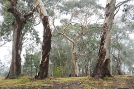 Canobolas Candlebark (Eucalyptus canobol