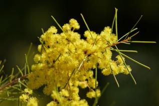 Acacia meiantha, Mullion Range September