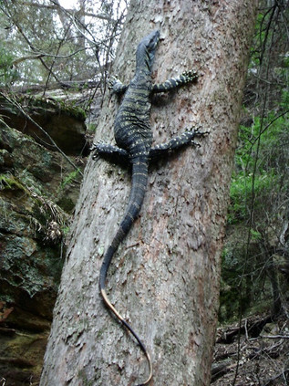 Lace monitor at Fern Tree Gully May 2010