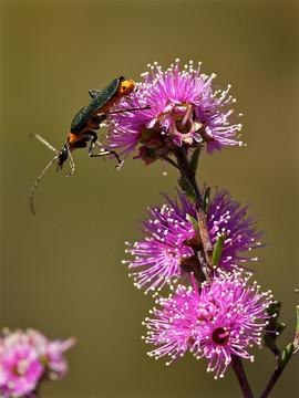 Soldier Beetle on Kunzea parvifolia, Mt