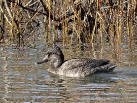 Freckled Duck, Spring Creek Reservoir Ju