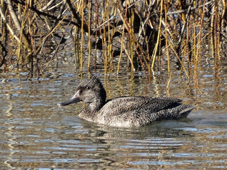 Freckled Duck, Spring Creek Reservoir Ju
