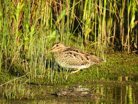 Lathams Snipe, Ploughmans Wetland Januar