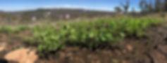 Pelargonium australe, overlooking Devils