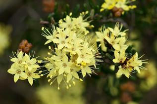 Phebalium squamulosum, Mt Canobolas Octo