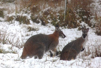 3X snow red-necked wallaby pair close.JP