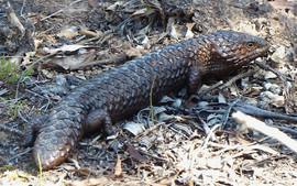 Shingleback Lizard, Spring Forest, Cowra