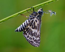 Sedge Skipper Butterfly, Gosling Creek M