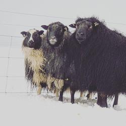 Minna-Mosfell sheep