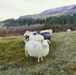 Dalsbú sheep
