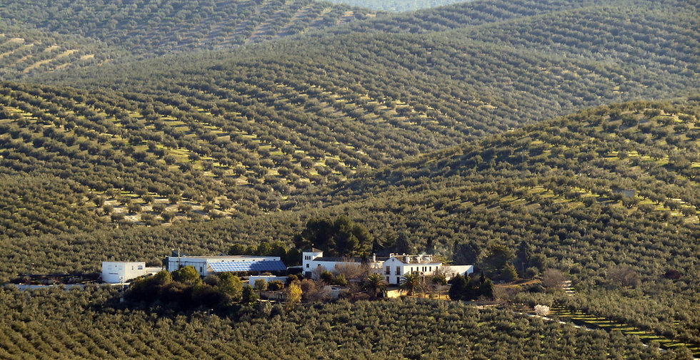 Olivar2.jpg
