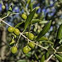 Olive_Oil_Thumb.jpg