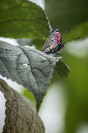 """Schmetterling """"Diaethria Anna"""""""