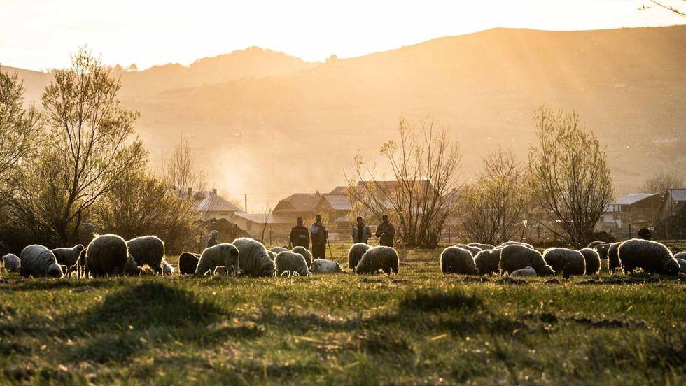 Schäfer hüten zum Sonnenuntergang ihre Schafe