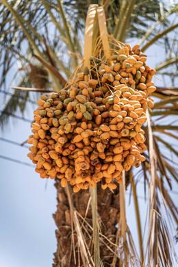 Fruchtstand einer Dattelpalme