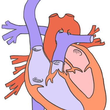 heart-diagram-02.jpeg