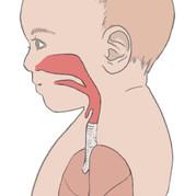 bb-respiratory-system-diagram.jpeg