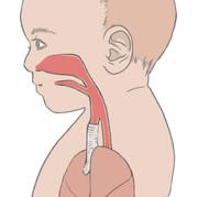 bb-respiratory-system-diagram-EDIT1.jpeg